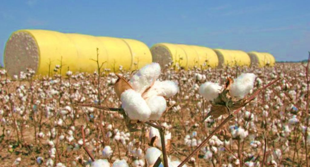 Drought Stress in Cotton