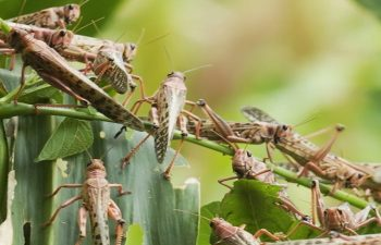 Climate, COVID-19, Locusts and The Agriculture Sector