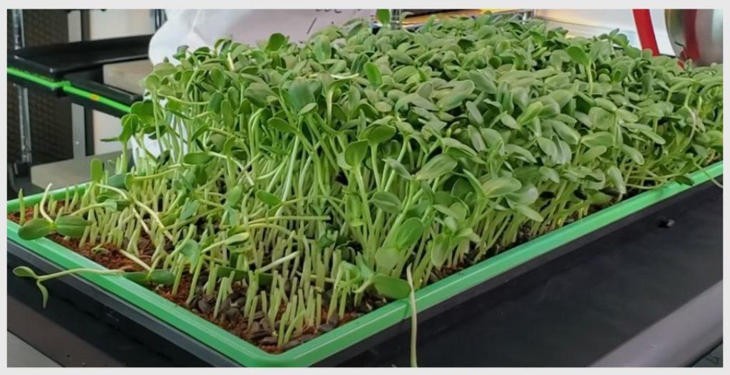 Harvesting of sunflower microgreens