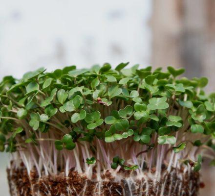 How To Grow Microgreens