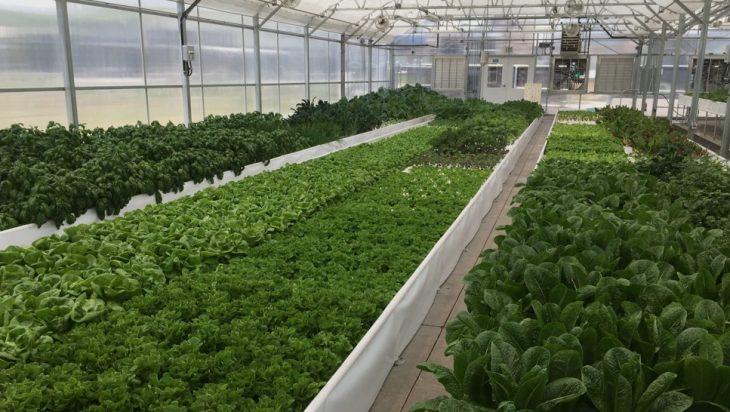 Algae And Aquaponics In A Greenhouse