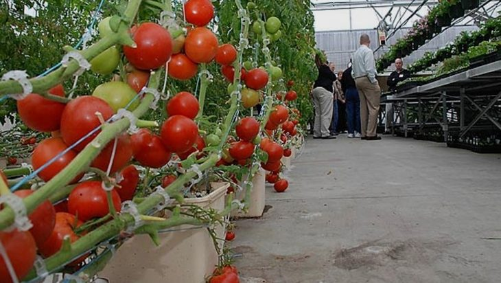 Aquaponic Tomatoes And Perch