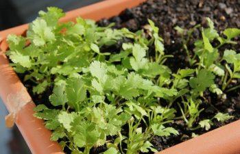 Aquaponics Method Used To Grow Parsley