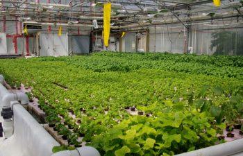 Aquaponics To Enhance Food Security