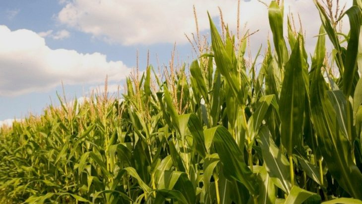 Cleaner Air Has Improved Corn And Soybean Yields In The Us