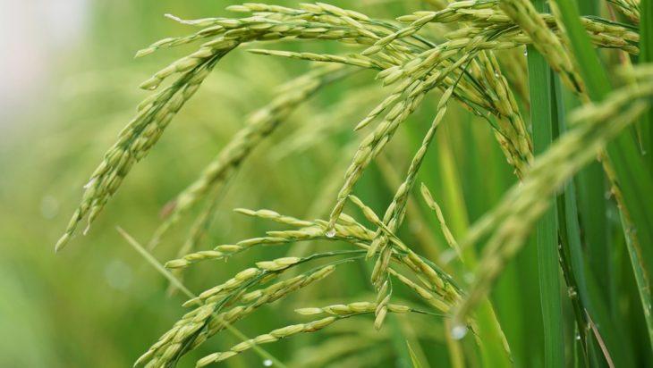 Despite Climate Change, Untapped Rice Varieties Might Sustain Crop Supplies