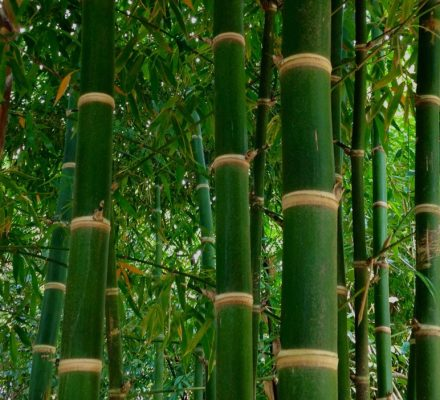 Facts You Should Know Before Planting Bamboo