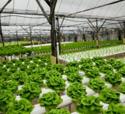 Growing Lettuce In Aquaponic System