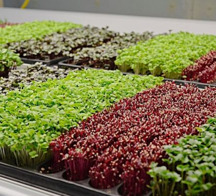 Market For Microgreens