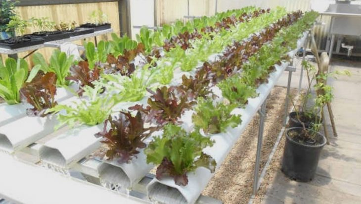 Hydroponic And Aquaponic Plant Disease Susceptibility