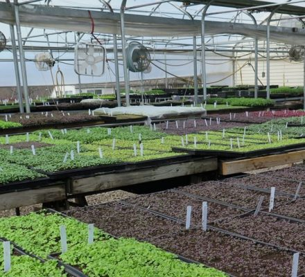 Microgreens Growers With Larger Farms