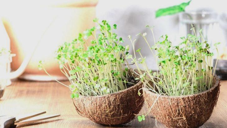 Microgreens In Coconut Shells