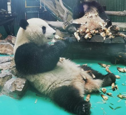 Pandas Couple Enjoy Bamboo Shoots