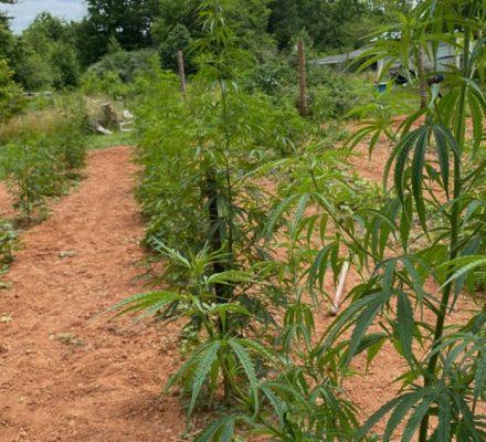 Police Seize 1200 Illegal Marijuana Plants