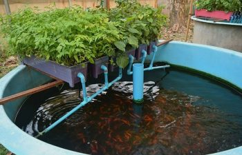 Reclaimed Water In Aquaponics