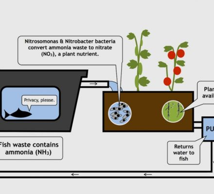 Remineralization Of Nutrients In Aquaponic Systems