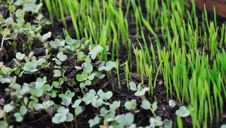 Sprouts And Microgreens For A Nutritious Diet