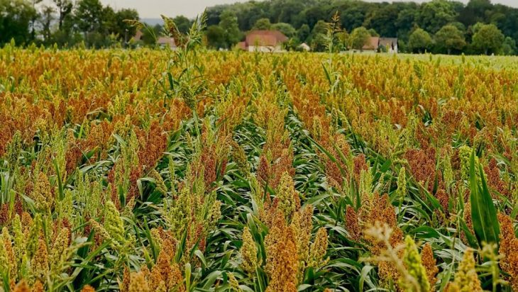 Susceptibility Of Corn Cousin 'sorghum' To Diseases Was Assessed By Field Tests In Pennsylvania