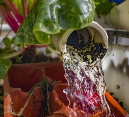 Tilapia Thrive In Aquaponics And Biofloc