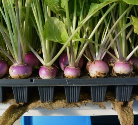 Cultivation Of Turnip in Pakistan