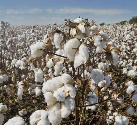 Higher Cotton Yield Boosts The MoF