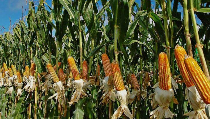Maize Cultivation Guidelines Pakistan