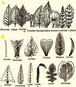types of Leaf Margin and Leaf Shape