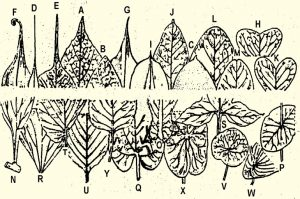 Types of Leaf apices and Leaf bases.