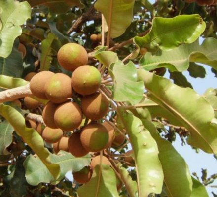 Shea Tree Genome Sequence